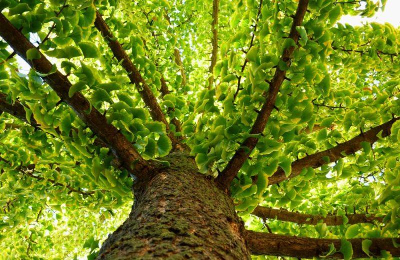 medicinal tree. homeopathy concept.